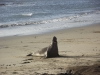 elephant-seal-single