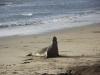 elephant-seal-single